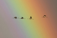 クロヅルと虹