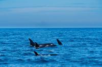 北海道 知床 羅臼 シャチの群れ