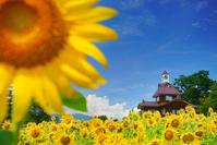 長野県 飯山市 菜の花公園のヒマワリ畑と寄楽舎