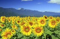 山梨県 明野のヒマワリ畑と甲斐駒ヶ岳 南アルプス