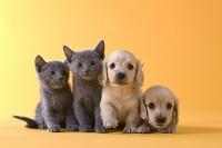ロシアンブルー猫とダックスフンド犬