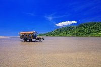 沖縄県 海を渡る水牛車 西表島~由布島