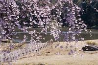 東京都 小石川後楽園 シダレザクラ
