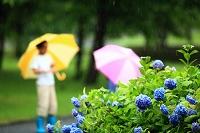 梅雨 紫陽花と傘をさす日本人の子供