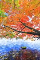 秋田県 十和田湖畔・横に成長し紅葉する木