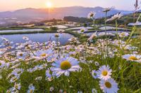 長野県 姨捨棚田の夜明けとマーガレットの花
