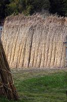 滋賀県 西の湖 葦刈りの収穫