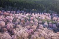 福島県 桜峠の春