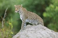 ボツワナ モレミ野生動物保護区 豹
