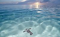 海を泳ぐアオウミガメ