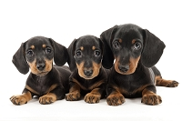 ダックスフンド 3頭の仔犬