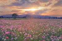 奈良県 橿原市 夕日の藤原京跡のコスモス畑