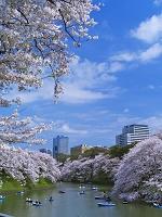 東京都 桜咲く千鳥ヶ淵とビル街夕景