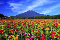 山梨県 百日草と富士山 山中湖花の都公園