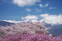 長野県 大草城址公園の桜と中央アルプス