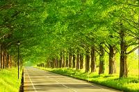 滋賀県 マキノ高原 メタセコイア並木