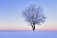 ブナの木と雪景色