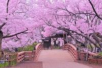 長野県 朝のサクラの高遠城址公園