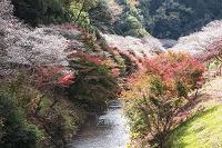 愛知県 小原四季桜