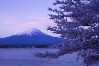 山梨県 桜咲く河口湖より富士山朝景