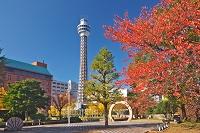 神奈川県 マリンタワーと山下公園の紅葉