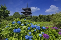 奈良県 アジサイと法起寺