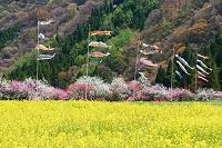 長野県 阿智村 月川温泉 花桃の里 菜の花と鯉のぼり