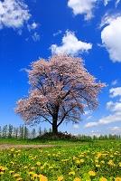 北海道 一本桜とタンポポ