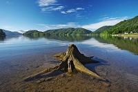 福島県 桧原湖の金山浜の枯木
