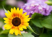 向日葵と紫陽花の花