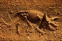 土に埋めるトリケラトプスの化石