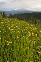 セント・へレンズ山と黄色の花畑