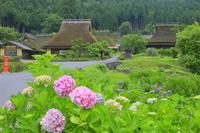 京都府 アジサイの咲く美山かやぶきの里