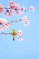 長野県 上田市 桜(サツマベニ)とメジロ