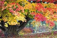 長野県 大峰高原の七色大楓