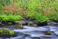 青森県 ヤマツツジ咲く新緑の奥入瀬渓流 三乱の流れ