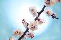光に照らされた梅の花