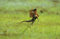 オーストラリア エリマキトカゲ