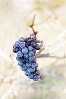 クロアチア 葡萄