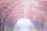 青森県 岩木高原 桜トンネル