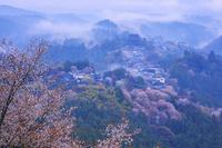 奈良県 シロヤマザクラ咲く吉野山上千本から霧漂う金峯山寺 蔵...