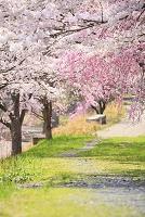 土手に続く桜並木