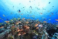 インドネシア サンゴ礁と熱帯魚