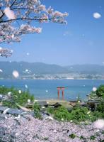 広島県 厳島神社と桜吹雪