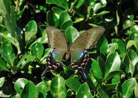 蝶 標本 ミヤマカラスアゲハ♀ 日本