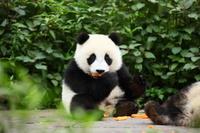 食事するパンダ