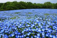 群馬県 武蔵丘陵森林公園のネモフィラ畑