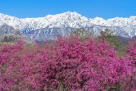 長野県 小川村からの鹿島槍ヶ岳とベニシダレザクラと立屋の桜