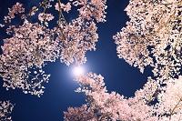 高遠城跡の夜桜と月