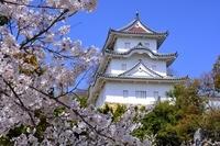 兵庫県立明石公園 史跡 明石城跡 満開の桜と巽櫓